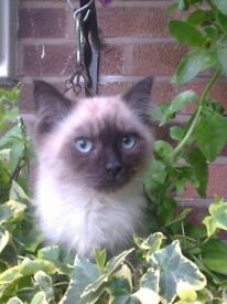 male Siberian kitten 4 months old £250