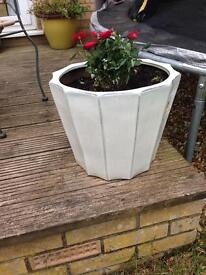 Large pot and small rose plant