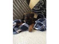 KC pedigree Beautiful boy border pup