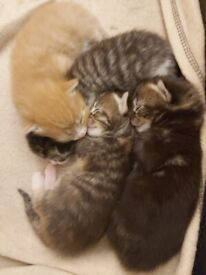 Absolutely Gorgeous Maine Coon Cross Kittens