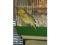Satinette Male Canary