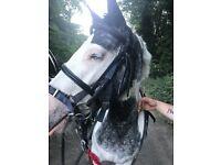 Blue eyed piebald pony