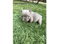 Lilac girl French bulldog