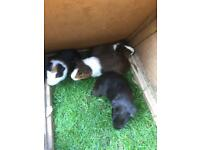 Baby male guinea pigs looking for good homes.