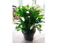 Christmas cactus/ Schlumbergera truncata