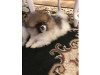 Mini Pomeranian Tri-Color girl