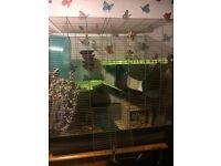 Two Female Degus, With Cage and Equipment, For Sale
