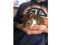 Baby bunny 11 weeks handreared as mother rejected so adorable and friendly loves being held