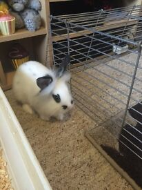 Boy rabbits with indoor large cage
