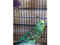 Two Budgies and Cage