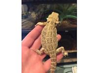 Baby bearded dragons last few with tanks