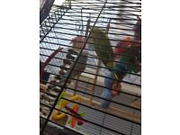 Budgies (pair ) for rehomeing