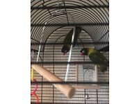 Love birds plus cage and extras
