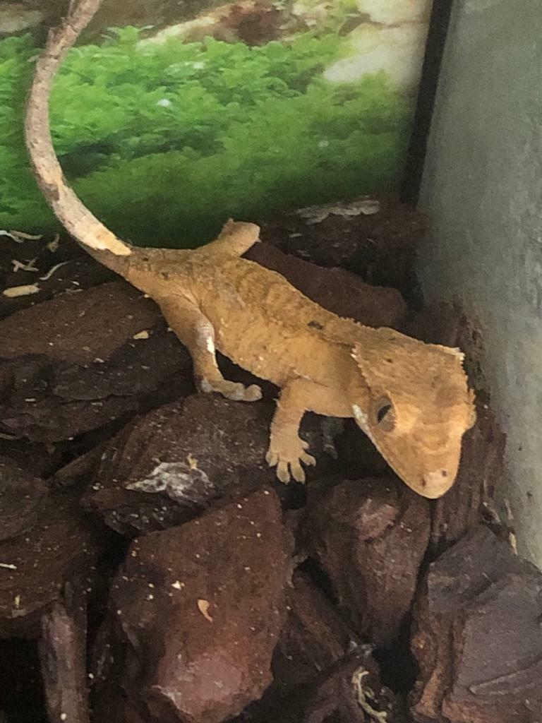 Baby crested geckos for sale, also adult red female for sale | in  Hillingdon, London | Gumtree