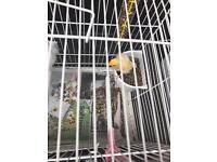 Canaries birds