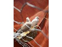 2 doves for sale