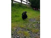 Black Silkie rooster