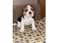 Beagle puppies SOLD