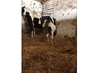 Full cob mare and foal for sale with tack