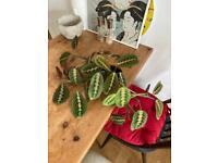 Maranta leuconeura - prayer plant