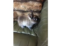 Adorable Young Male Netherland Dwarf Rabbit With For Sale