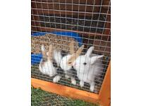 Beautiful baby rabbits for sale Dutch tortoise shell