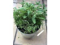 Herb 🌿 Kitchen Garden (outdoor plant)