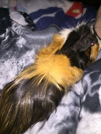 Male guinea pig abyssinian x 1 year old