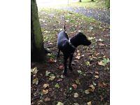 Labrador X bull terrier for rehoming