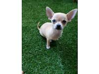 Tea Chihuahua puppie