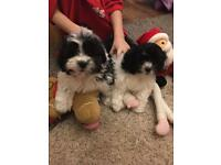 Shihzons puppies