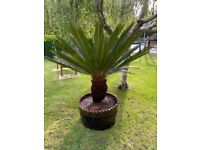 Cycad - Cycas revoluta - King Sago Palm Tree 160-170 cms 5-6 inch including pot