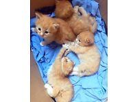 Fluffy half Persian kittens