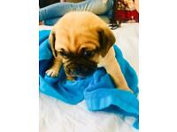 Boston pug and puggle mix puppies for sale