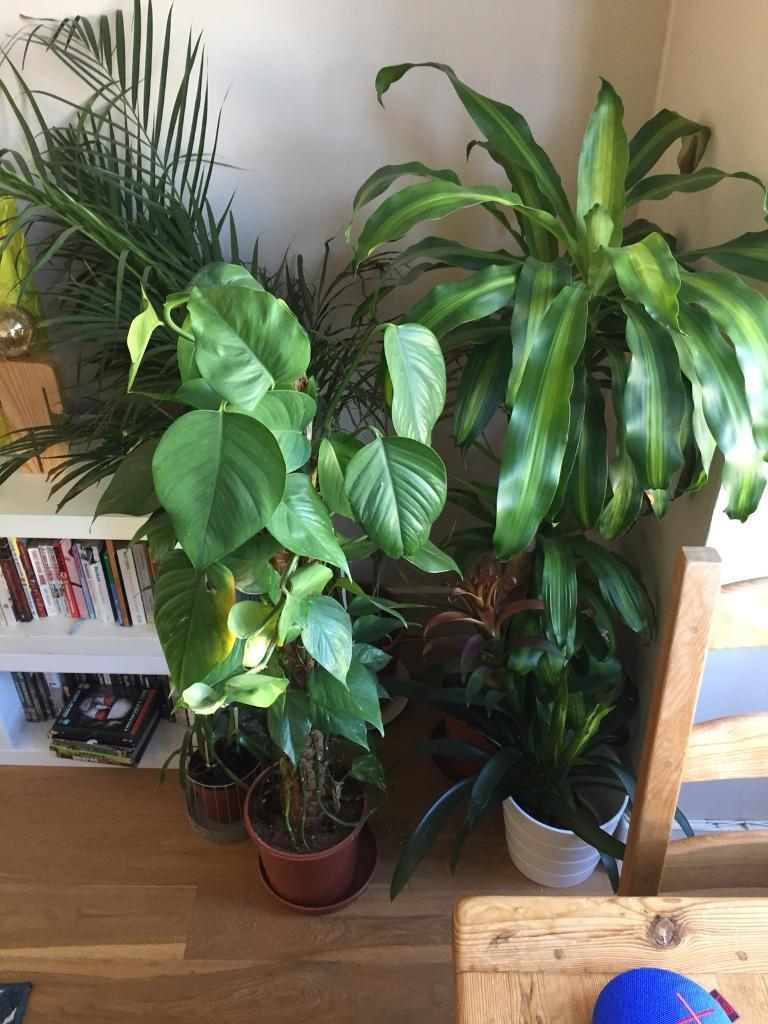 Large house plants collection | in Putney, London | Gumtree on peppermint tree plant, cycad plant, reed plant, foxfire plant, gazania plant, no light indoor plant, lotus plant, google plant, hickory plant, garland plant, amazon plant, miracle fruit plant, king plant, arcadia plant, violet flower plant, eagle plant, yucca plant, ebay plant, mulberry plant, fig plant,