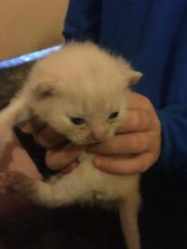 Beautiful British shorthair kittens ready 8th/10th October Bsh kittens Can see Mum dad £380