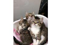 Playful Tabby kittens