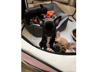Ready Now ...KC Chihuahua Puppies