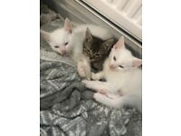 2 beautiful male white kittens for sale