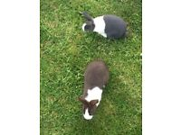 2 Young Friendly Rabbits With Cage