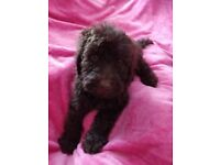 F2 LABRADOODLE PUPPIES READY NOW