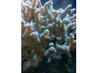 Green birds nest coral frags