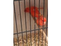 Pairs of red factor canaries