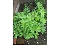 Plants Veg -Herbs-Dill Anise Celery greens