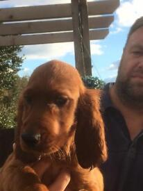Irish red setter puppy for sale last one remaining