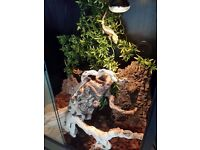2 Crested Geckos with Complete Viv Setup and Food