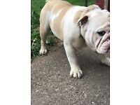 Kc reg huu clear male British bulldog 4 sale