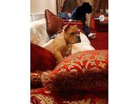 Bulldog old english pup