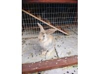 1 male mini lop baby rabbit ready now