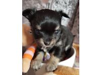 Ttwo gorgeousl KC registered chihuahua puppies for sale